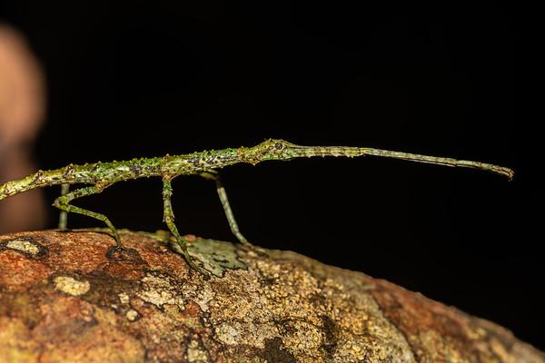 Acanthoxyla prasina - Prickly stick insect