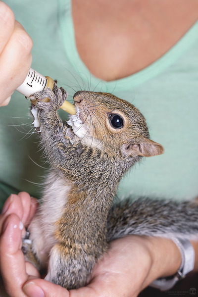 Eastern gray squirrel baby