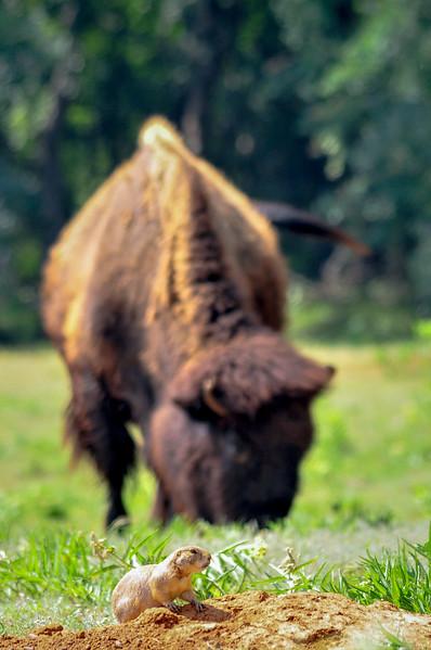 Prairie Dog & the Bison (1 of 1).jpg