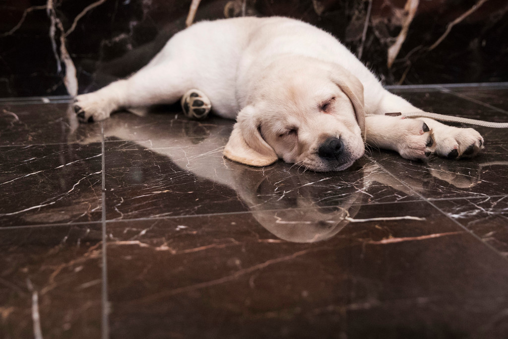 . Harbor, an 8-week old labrador retriever, takes a nap during a news conference at the American Kennel Club headquarter, Wednesday, March 28, 2018, in New York. American Kennel Club rankings released in 2018 show the labrador is the most popular purebred dog. (AP Photo/Mary Altaffer)