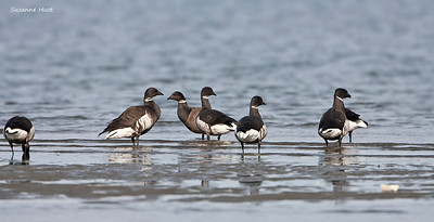 Brant's  Geese