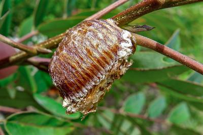 Mantodea - Mantids, Mantises