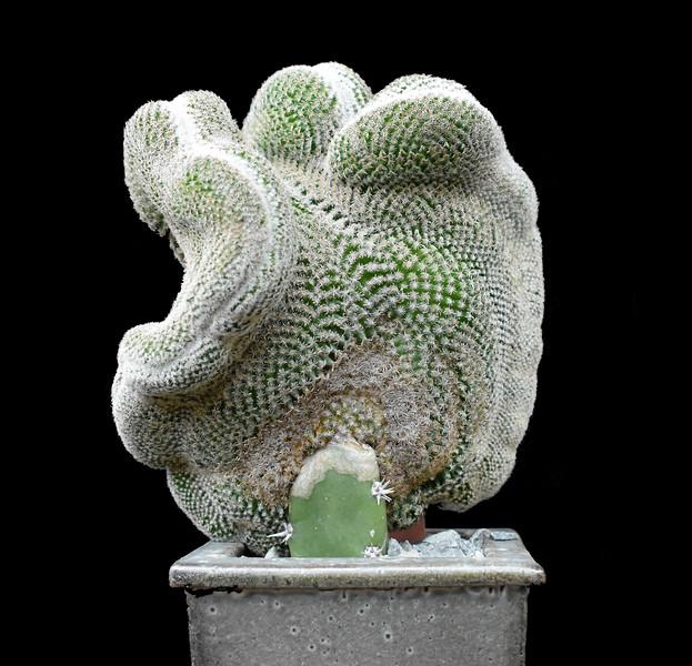 Mammillaria huitzilopochtli crest