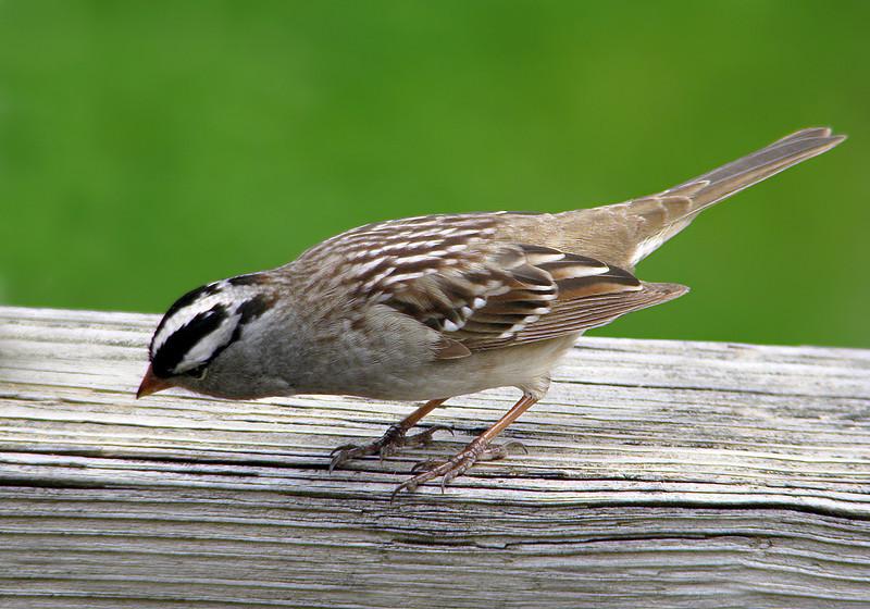 white_crowned_sparrow_1071.jpg