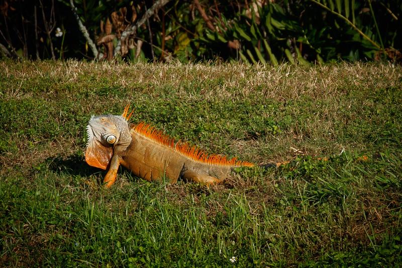 Basking Iguana-1395.jpg