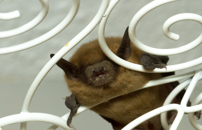 Most likely a little brown bat, Myotis lucifugus, from Iowa.