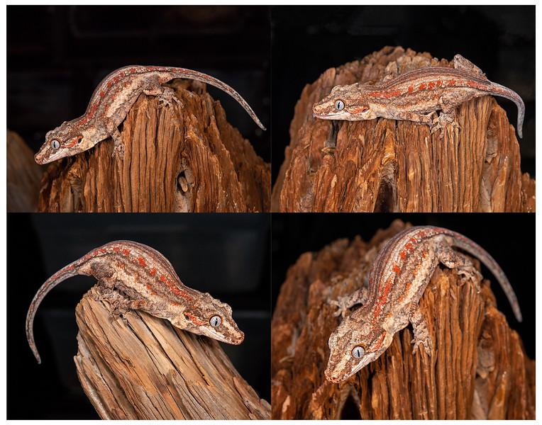 Gargoyle Gecko #2002, $150