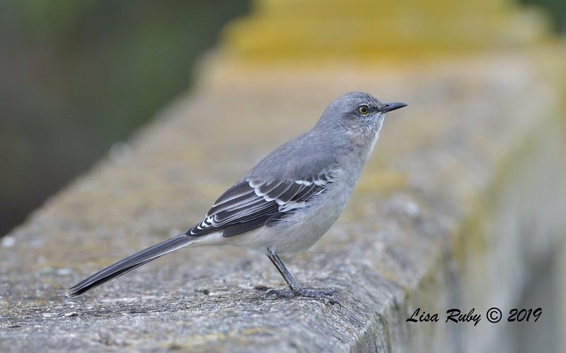Northern Mockingbird  - 9/27/2019 - Fort Rosecrans National Cemetery
