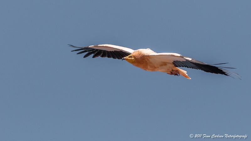Ådselsgrib (Neophron percnopterus - Egyptian vulture), adult, flyvende, Playitas, Fuerteventura - mar. 2011