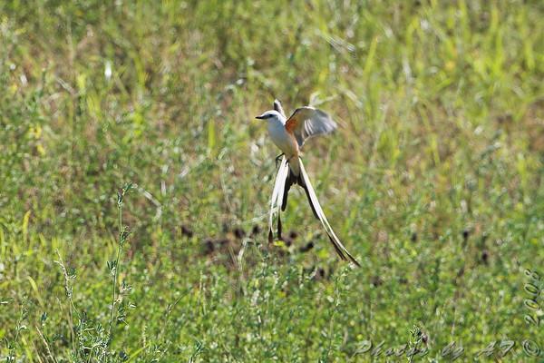 2008-07-23 Scissor-tailed Flycatcher