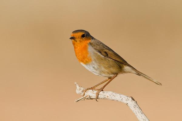 European Robin-  אדום החזה