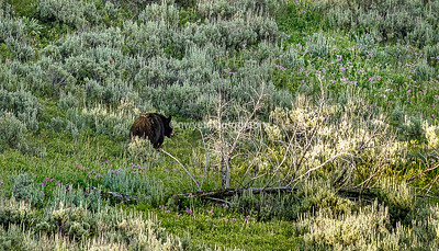 Yellowstone Black Bears