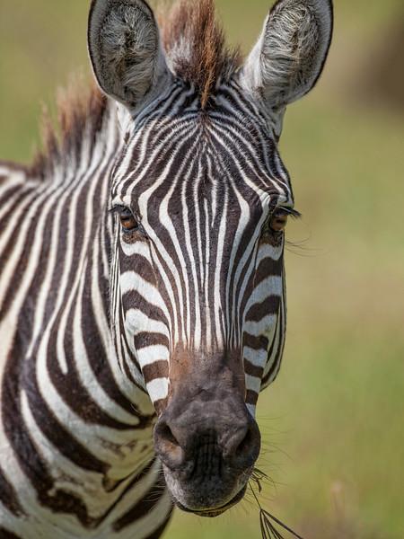 Zebra 8480.jpg