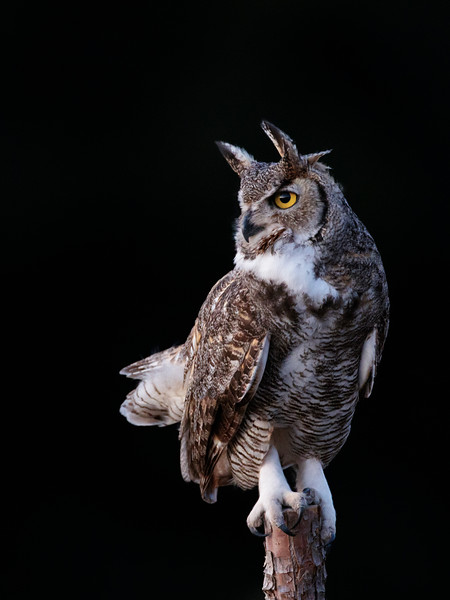 Great Horned Owl preparing to hunt