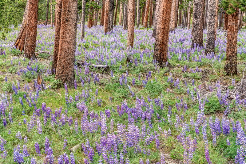 Bighorn National Forest in Bloom