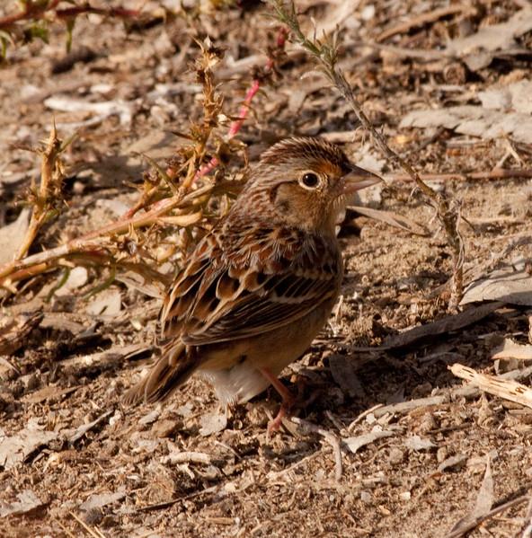 Grasshopper Sparrow Aviara 2009 11 20-08.CR2