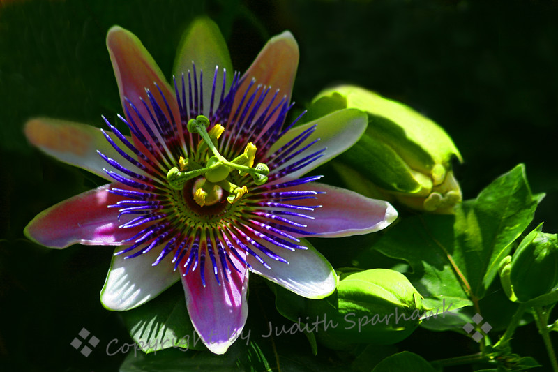 So Passionate ~ This Passion Flower was blooming in the butterfly garden at Balboa Park in San Diego.