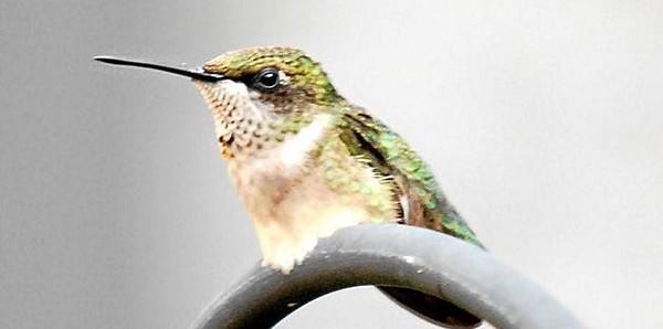Humming_bird_022.jpg