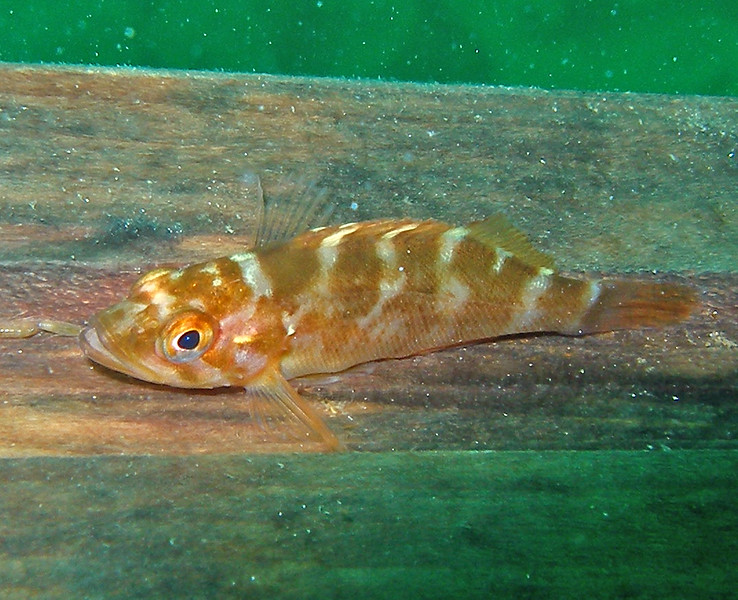 Juvenile Rockfish (Kelp Rockfish?) Taken at 48ft, North Side of Santa Cruz at Pelican anchorage.