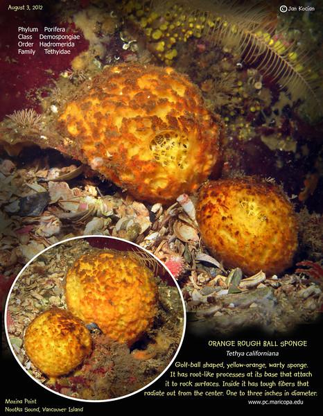 8.3.12 Orange ball sponge S .jpg