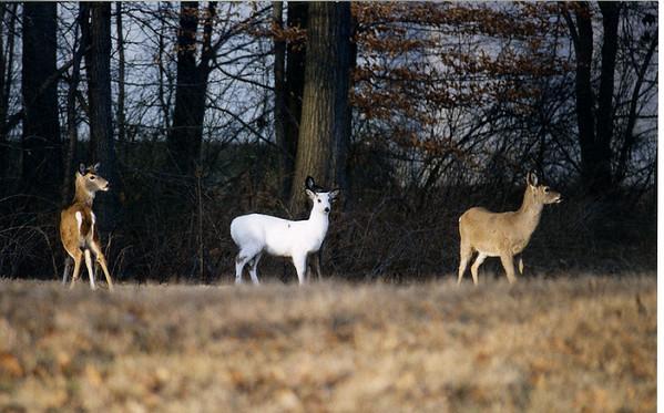 Carter deer scans 1998