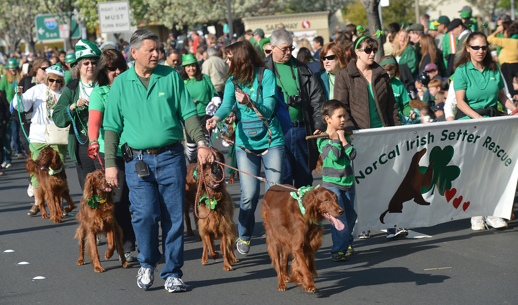 . Irish setters and their owners from the NorCal Irish Setter Rescue walk down Dublin Boulevard during the Saint Patrick\'s Day Parade in Dublin, Calif., on Saturday, March 16, 2013. (Dan Rosenstrauch/Staff)