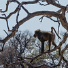 Chacma baboon at Kruger National Park