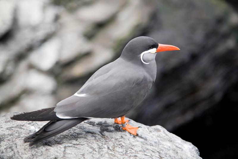Inca tern, Lisbon Oceanario