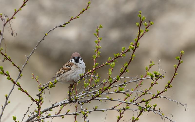 cappadocië, göreme, love valley, ringmus, tree sparrow