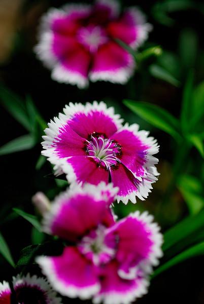 Red White Flower.jpg