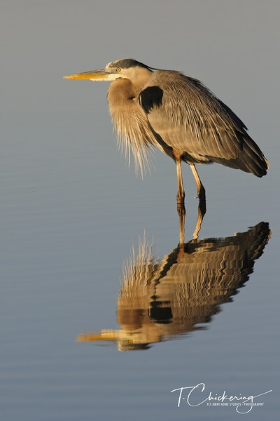 Great Blue Heron at Fort DeSoto-1505771721377.jpg