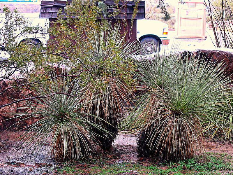 Cacti Family Singers, Tuzigoot