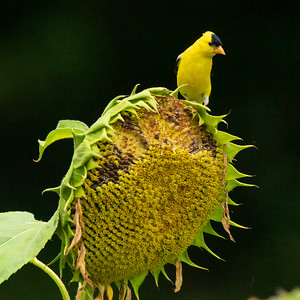 Gold Finches and Hummingbird feeding at dusk