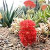 Crassula falcata, Graptopetalum 'Poindexter's Hybrid,' and Aloe hybrid