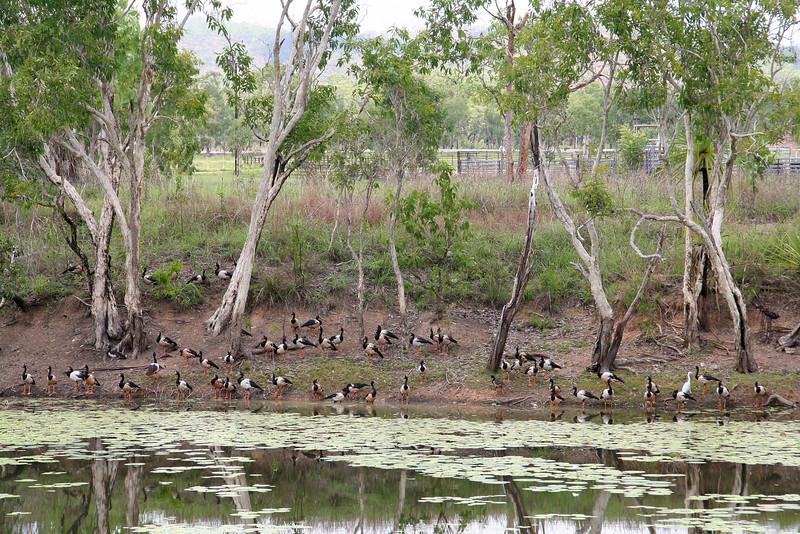 Ducks @ Adelaide River.jpg