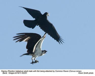 Raven & Osprey 52251.jpg