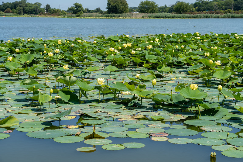 Water lilies in Lake Erie