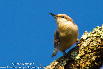 Nuthatches & Creepers
