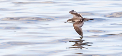 Shearwaters and Petrels