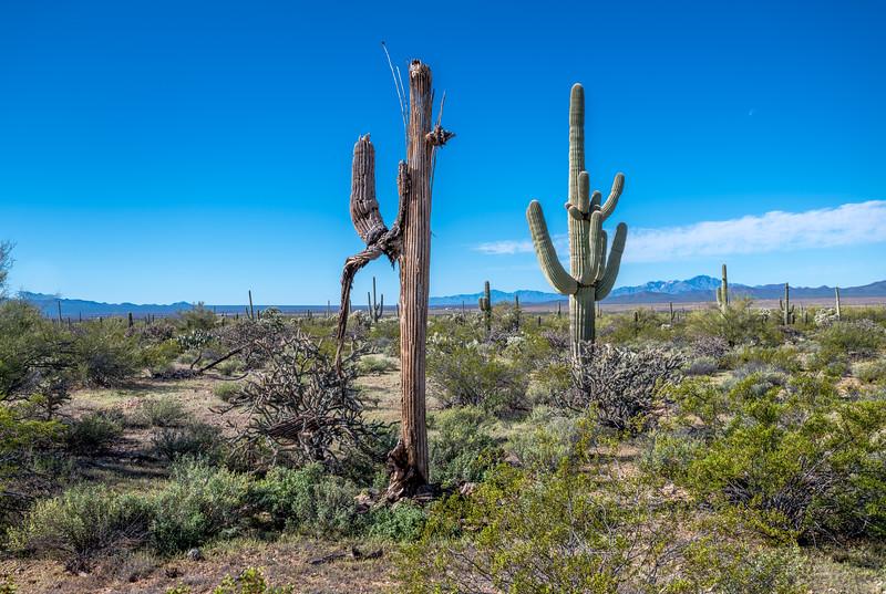 I-11 - Old Growth Desert #1