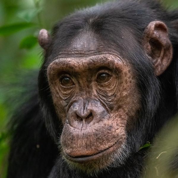 Uganda_T_Chimps-1695.jpg
