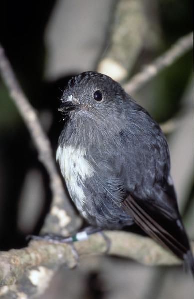 Austalasian Robin