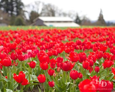 2015-03 Tulips