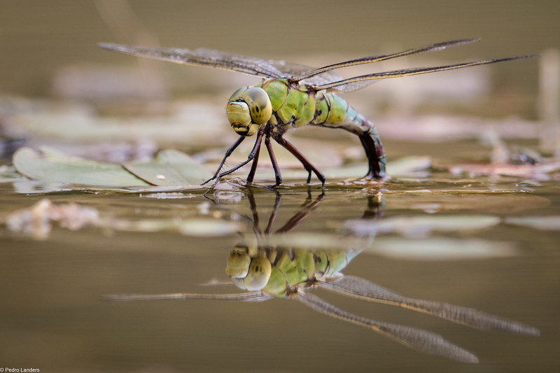 Emperor Dragonfly - Female