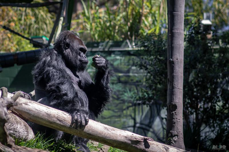 gorilla 001.jpg