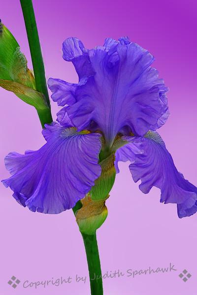 Iris Blue.jpg