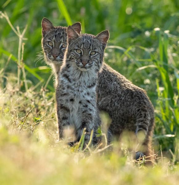 curious kittens.jpg