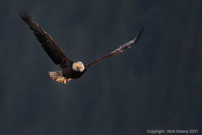 Bald Eagle flys through Discovery Islands