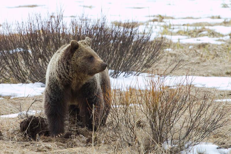 grizzly bear0164.jpg