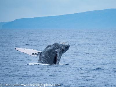 Maui - Humpback Whales